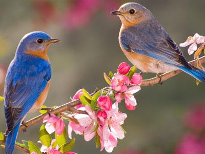 Beautiful Bluebirds Jigsaw Puzzles