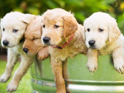 Bucket of Golden Retriever Puppies