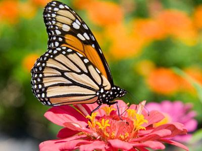 Monarch Butterfly Jigsaw Puzzle