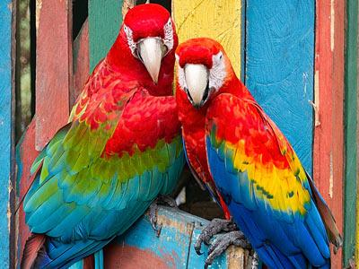Colorful Macaw Parrots in Panama