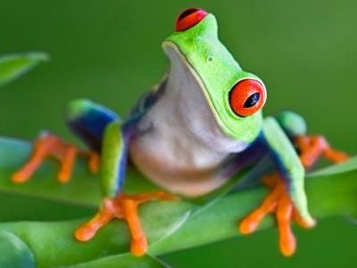 Curious Red Eye Tree Frog