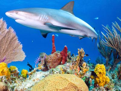 Reef Shark Jigsaw Puzzle