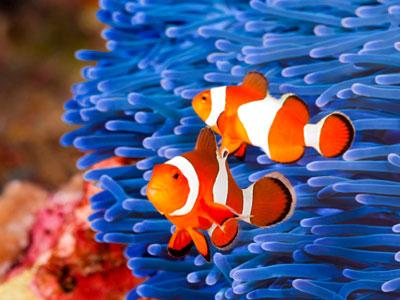 Colorful Clownfish Jigsaw Puzzle